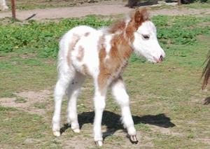 American Tovero Filly